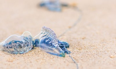 Sami Muirhead's kids experience the painful rite of passage every Australian beachgoer must – being stung by blue bottles.